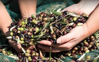 olive-in-salamoia-come-fare-olio-extravergine-di-oliva-Groma-v01-1240x824