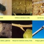 barrenillo o palomilla del olivo. Olivar de sierra los pedroches. Aceite ecologico. Olipe. Olivalle.