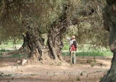 Pelicula abuelo nieta El Olivo Cartel Aceite Ecologico Olivar de sierra Los Pedroches Olivarera Olipe Olivalle