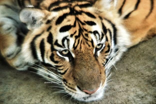 harimau di chiang mai