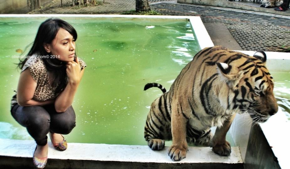 masuk kandang harimau di chiang mai