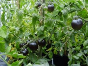 black-tomatoes3-550x412
