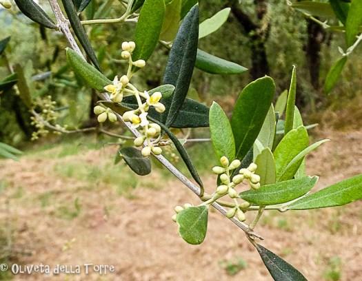 Formazione dell'infiorescenza dell'olivo