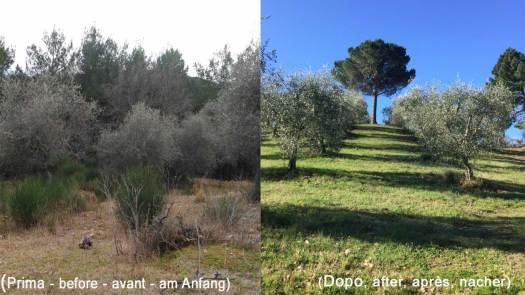 Recuperare gli olivi abbandonati per produrre olio extravergine.