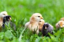 Spring Chick Arrivals