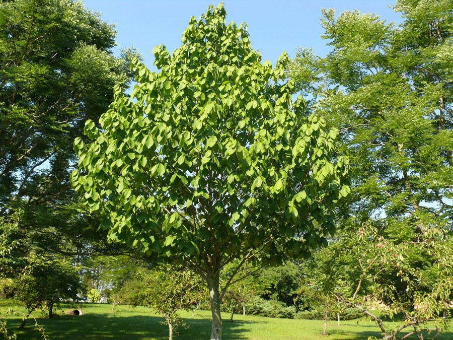 Transplanting Apple Trees Summer