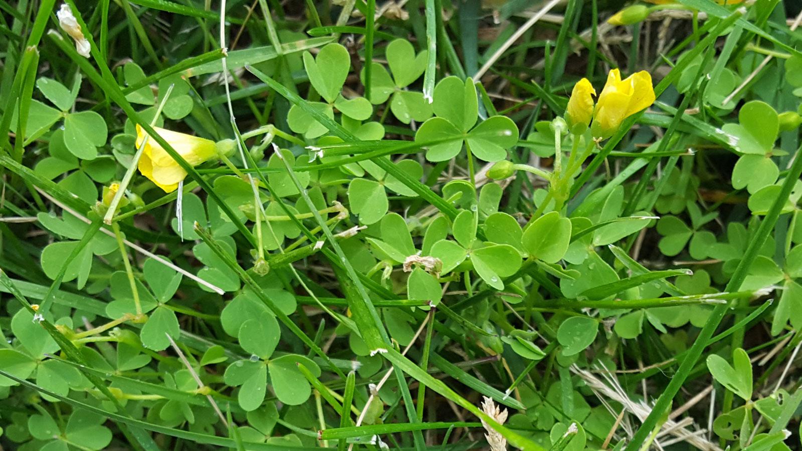 Yellow Woodsorrel Benifits Organic And Natural Control