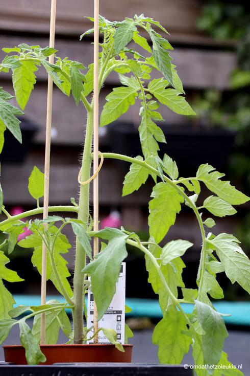 biologisch, oranje tijgertomaat, tomatenplantje, cadeau voor moederdag, tuinplant