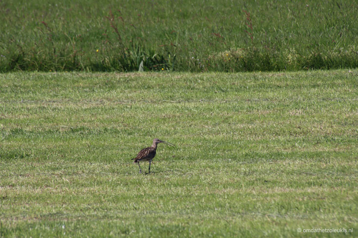 wulp in weiland, Staphorst, Dekkersland #weidevogels