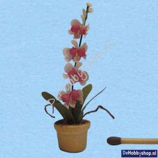orchidee-wit-lroze-1op24