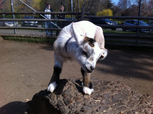 East van goat