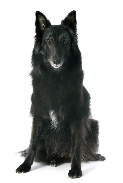 Belgian Shepherd Dog Groenendael Dogs Breed Information Omlet