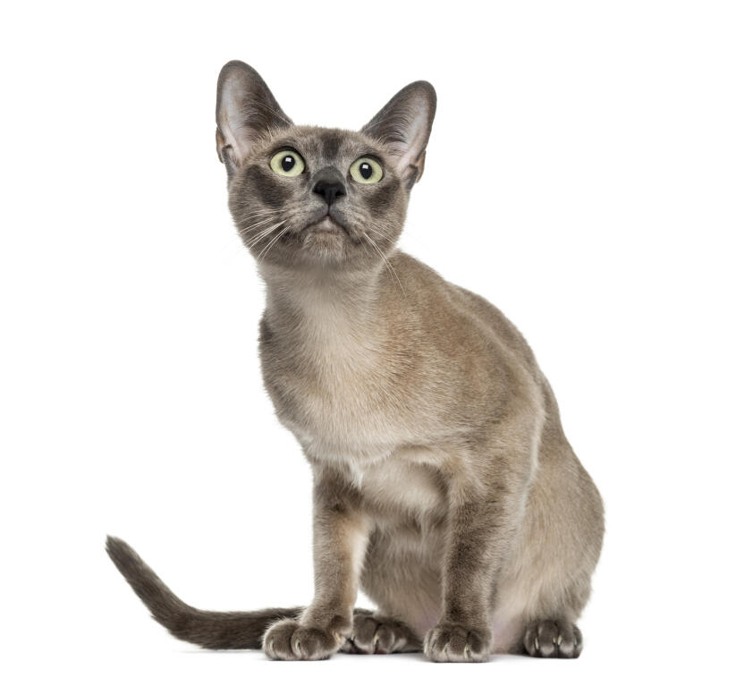 Persian Siamese Cat
