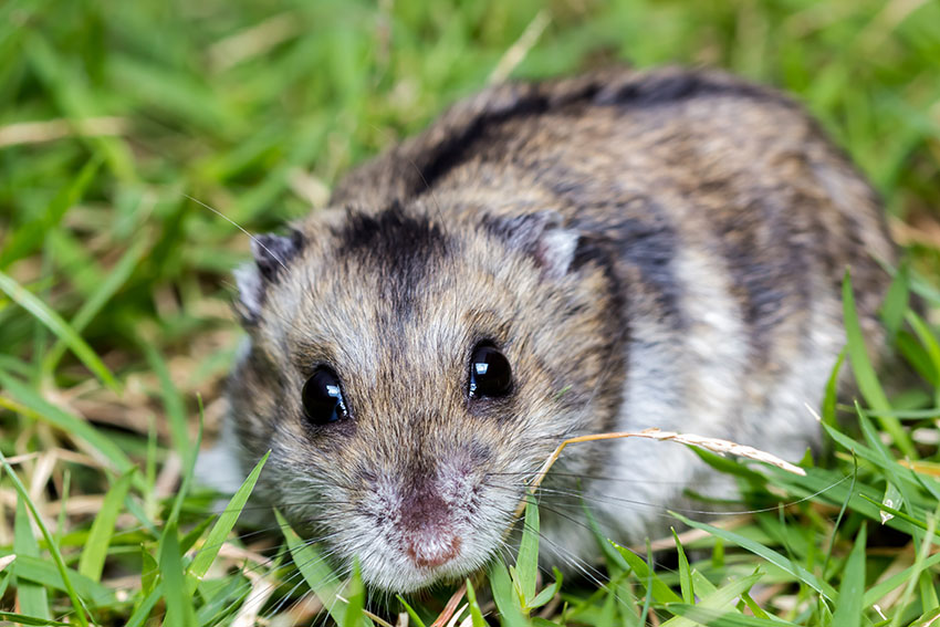 Hamster Illnesses Lumps