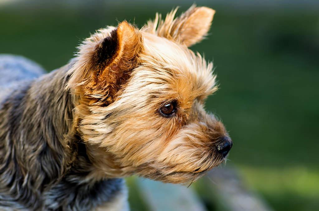 Yorkshire Terrier Hunde Informationen Zu Den