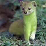 Modified mountain weasel