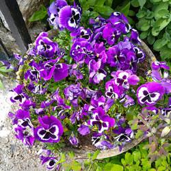 Pansies in my mum's garden