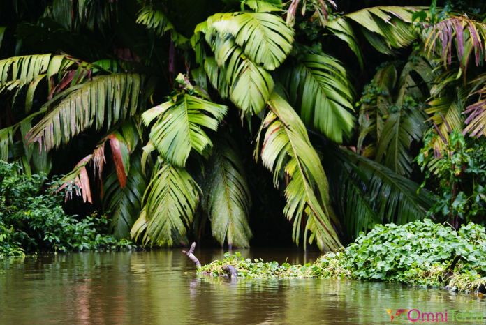 Costa Rica - Tortuguero - Mangroves