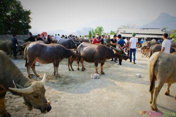 Vietnam - Bac Ha - Marché aux buffles
