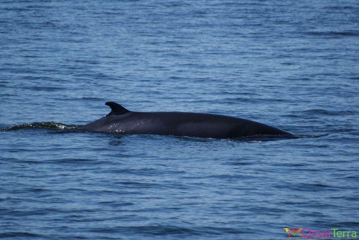 Québec - Observation des baleines -Baleine