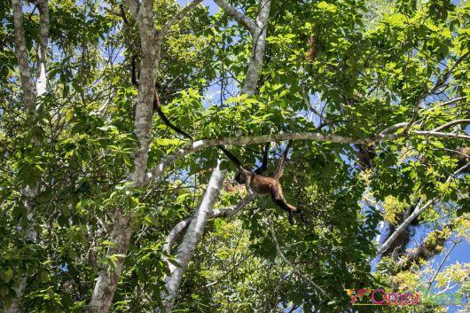 Guatemala - Tikal -singes