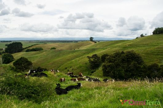 Nouvelle Zelande- Collines-Waikato
