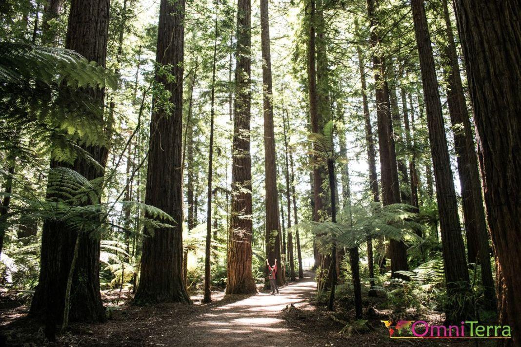 Nouvelle zelande - Rotorua - Redwoods forest
