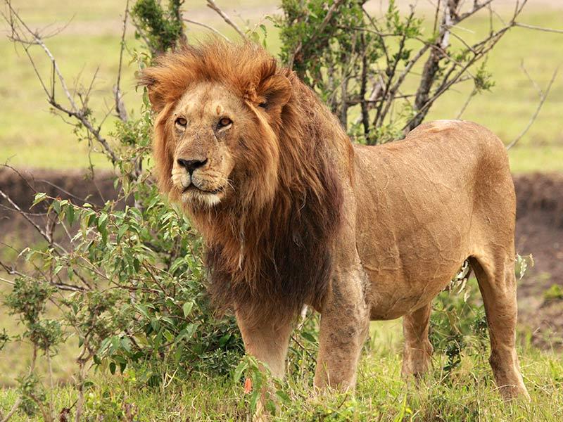 Save The Lion Ompe Organisation Mondiale Pour La Protection De L Environnement