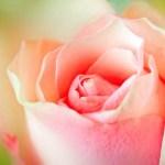 Love, Venus and Roses