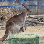 今しか見れない!「カンガルーの赤ちゃん」が大牟田市動物園に。春休みに御家族でLet's go!