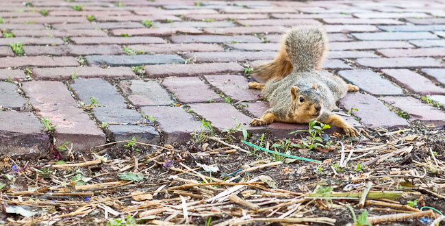 A prostrate squirrel