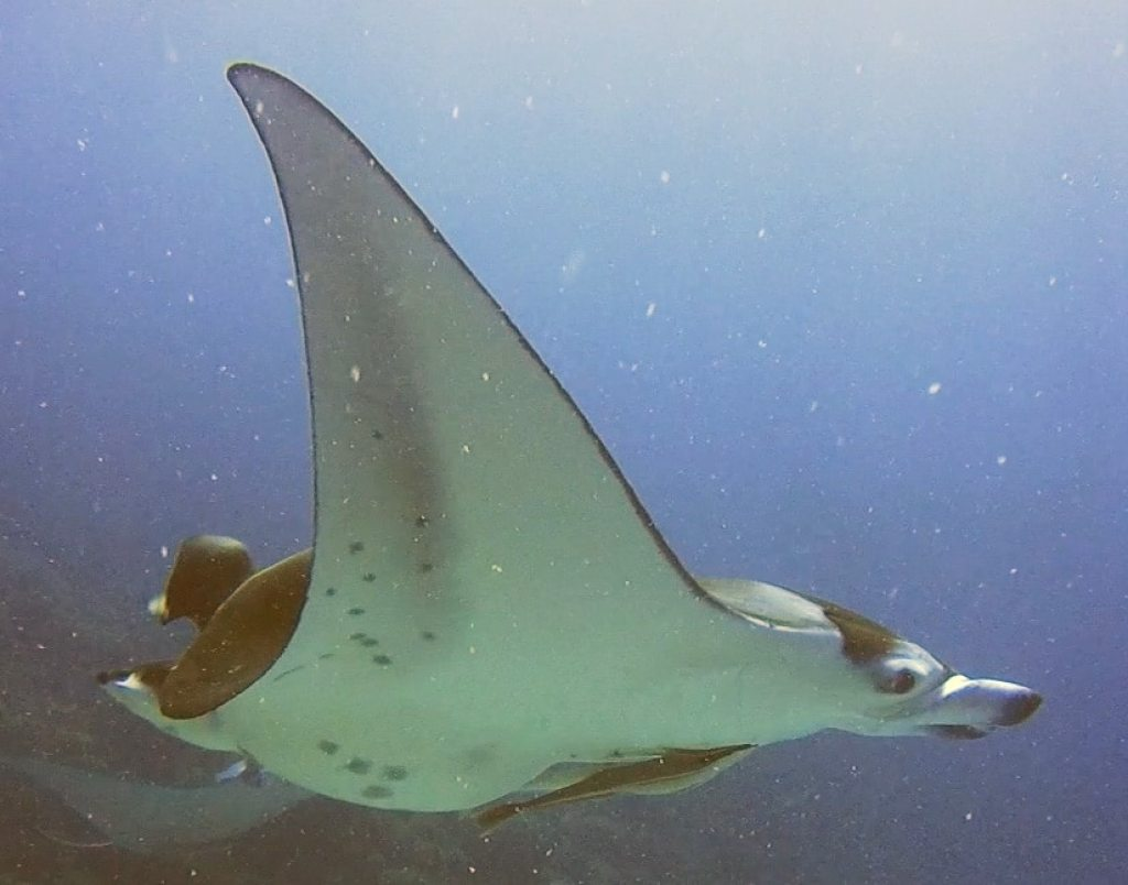 mantas in bora bora