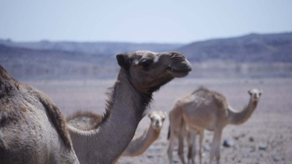 Camel in Djibouti