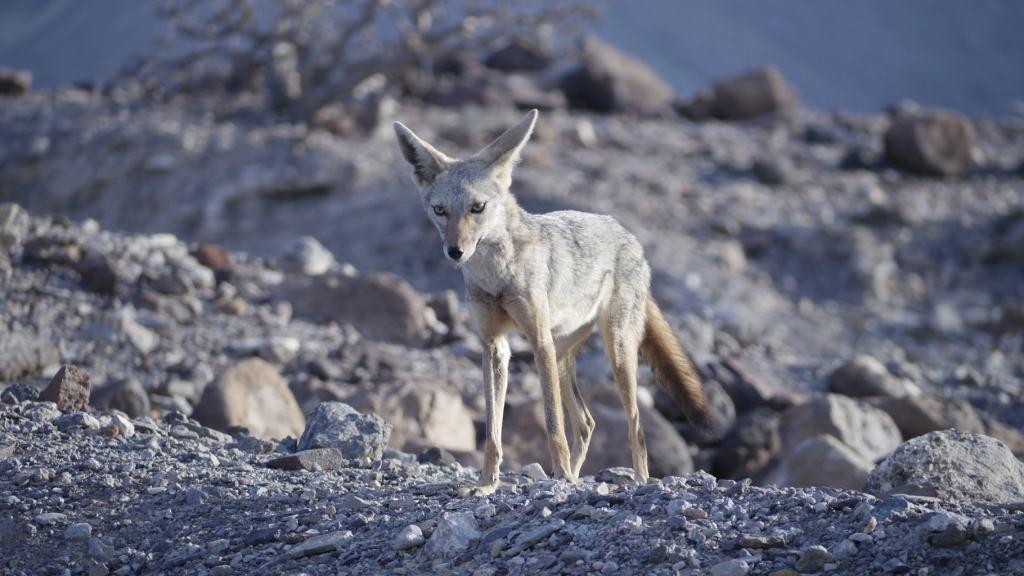 A jackal in Djibouti