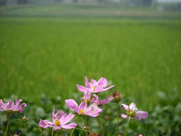 Flowers along rice paddies