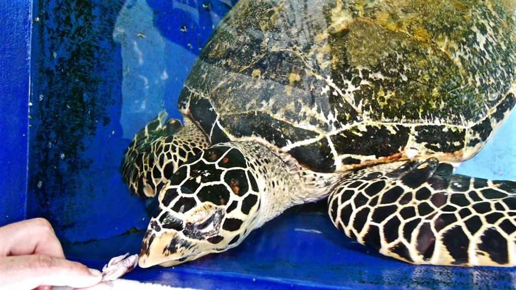 Rescued turtle at Gaya Island Resort Marine Center