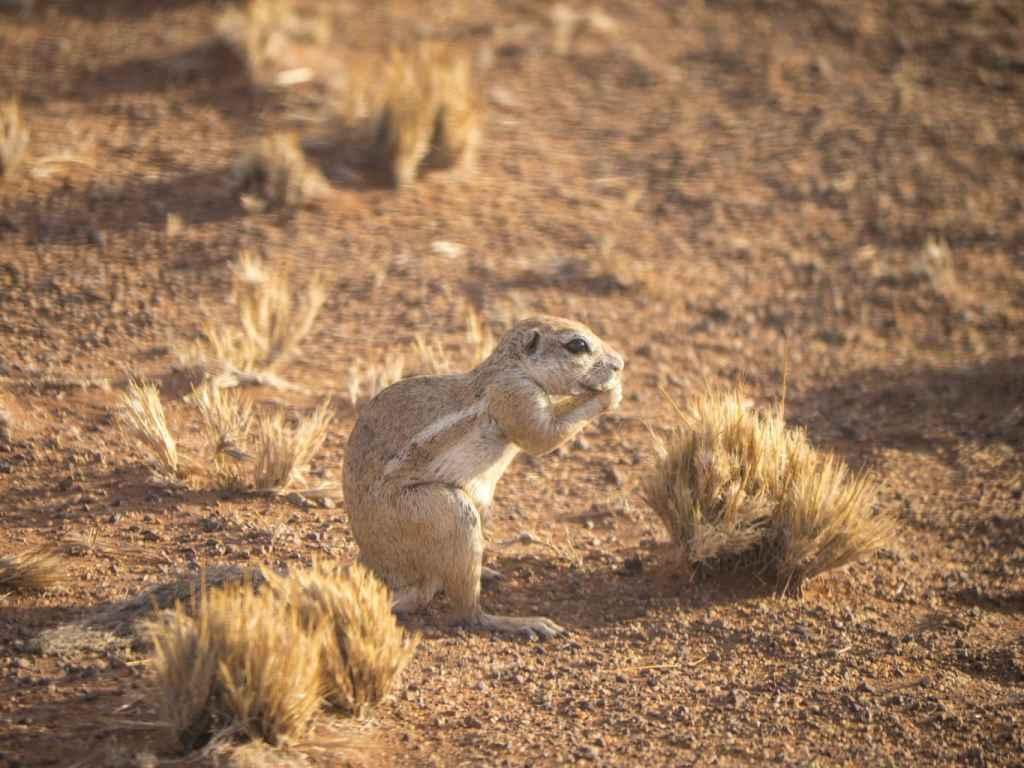 Squirrel NamibRand Reserve