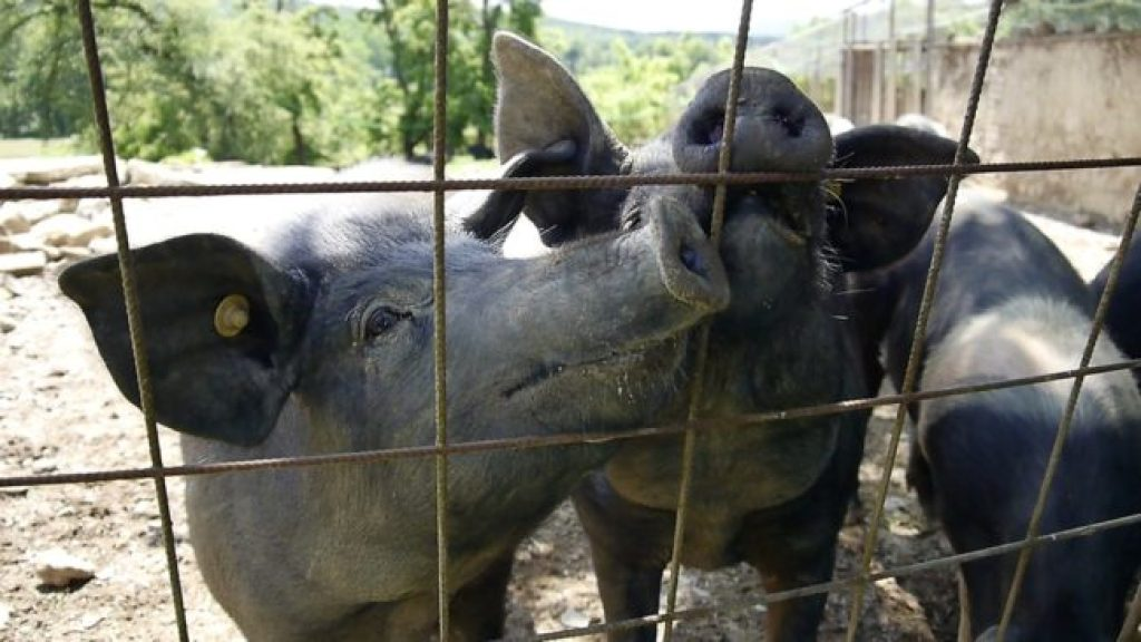 Saddleback pigs