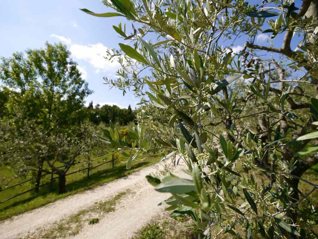 Podere Erica olive trees