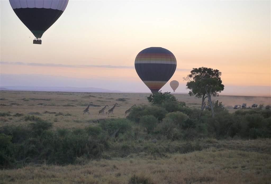 Giraffes running away from hot air balloon at the Masai Mara