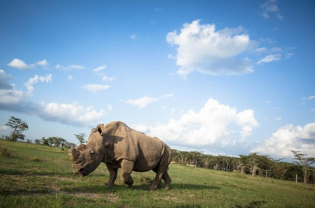 Ol Pejeta white northern rhino at one of Kenya's best parks