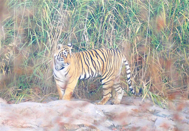 """Tiger in Ranthambore"""