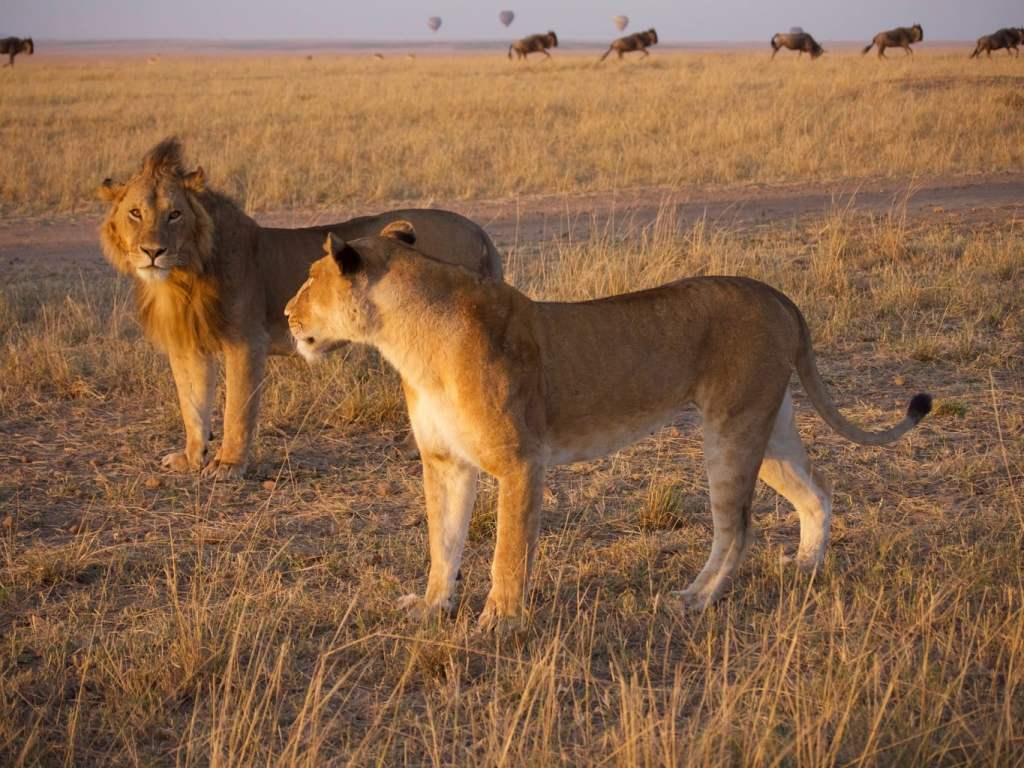 Lions in the Masai Mara, one of Kenya's best parks