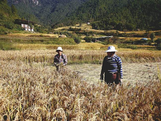 """Farmers in rice fields in Punakha"""
