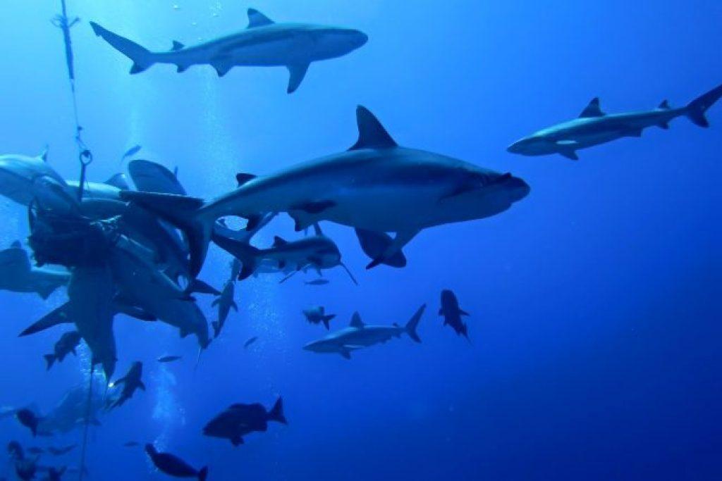 Sharks at vertigo point in Yap