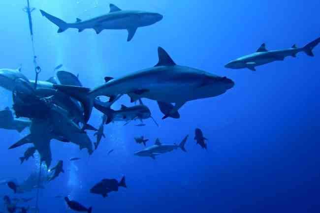 """""""Sharks at vertigo point in Yap"""""""