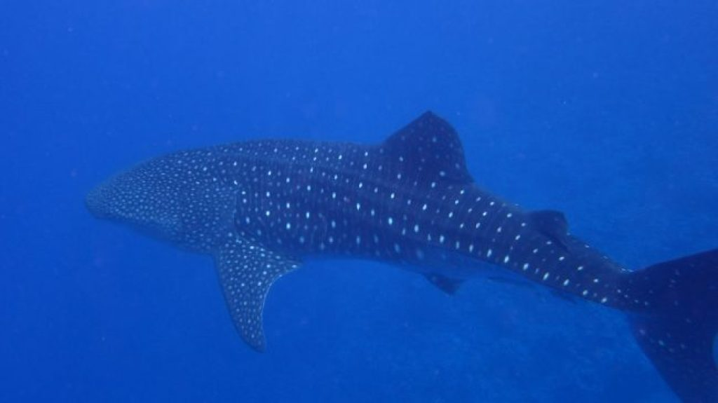 Whale shark in Yap