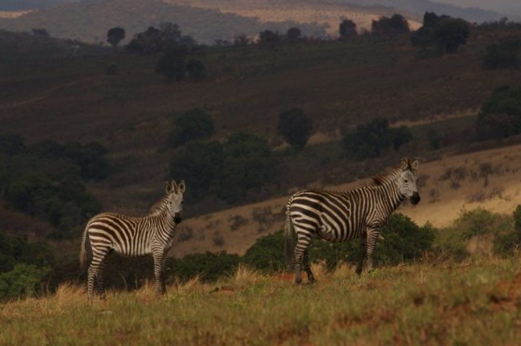 Zebras in Nyika National Park in Malawi