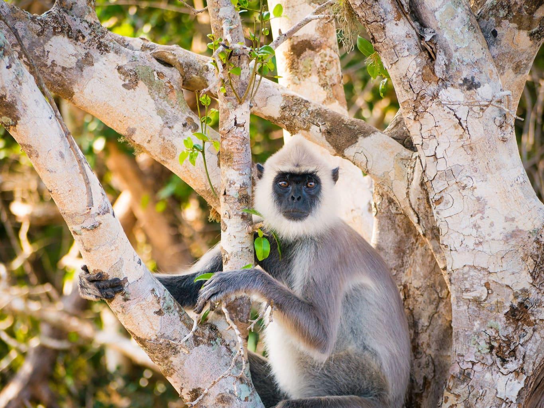 Monkey at Yala