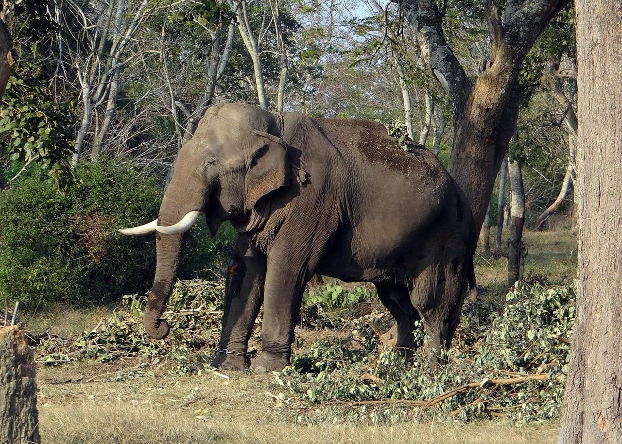 Happy elephant in Karnataka's safari parks